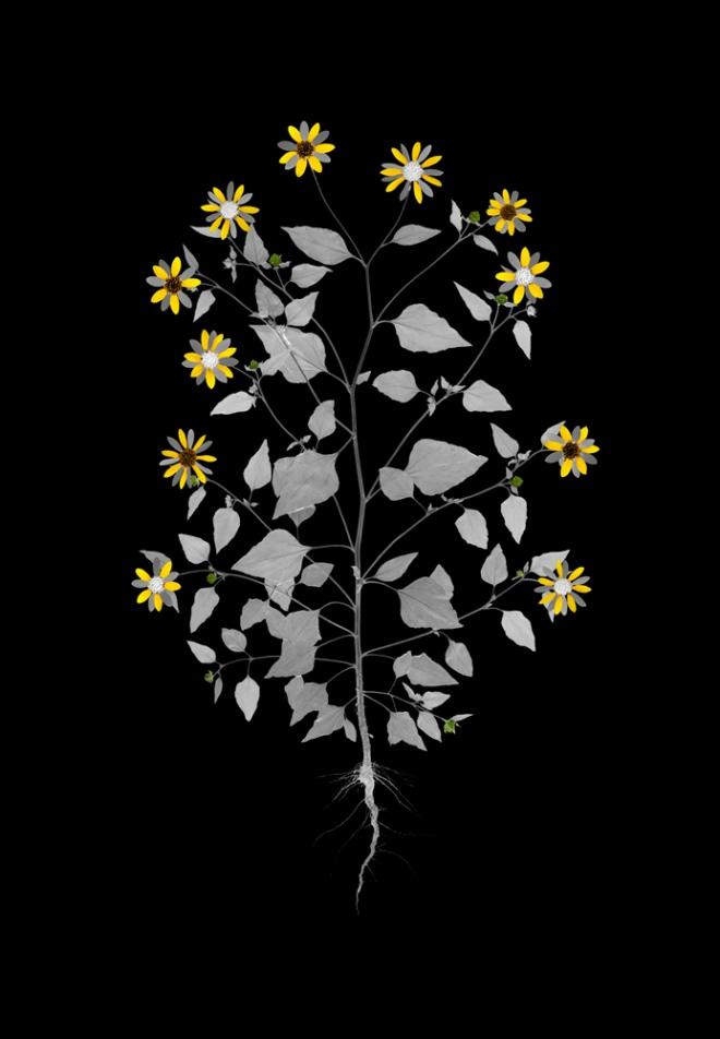 sunflower_small 2