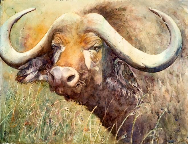 Cape Buffalo a